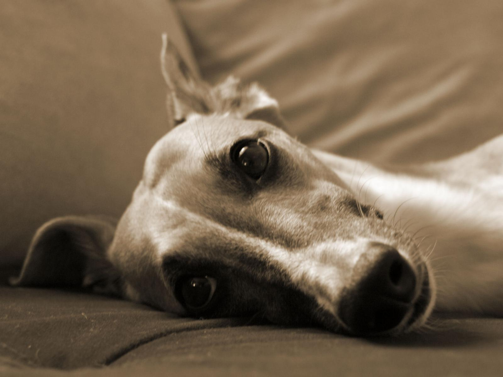 Quentin - mein Whippet