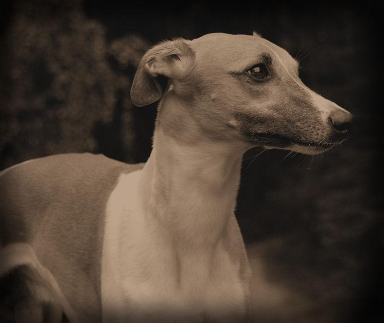 portrait of a whippet