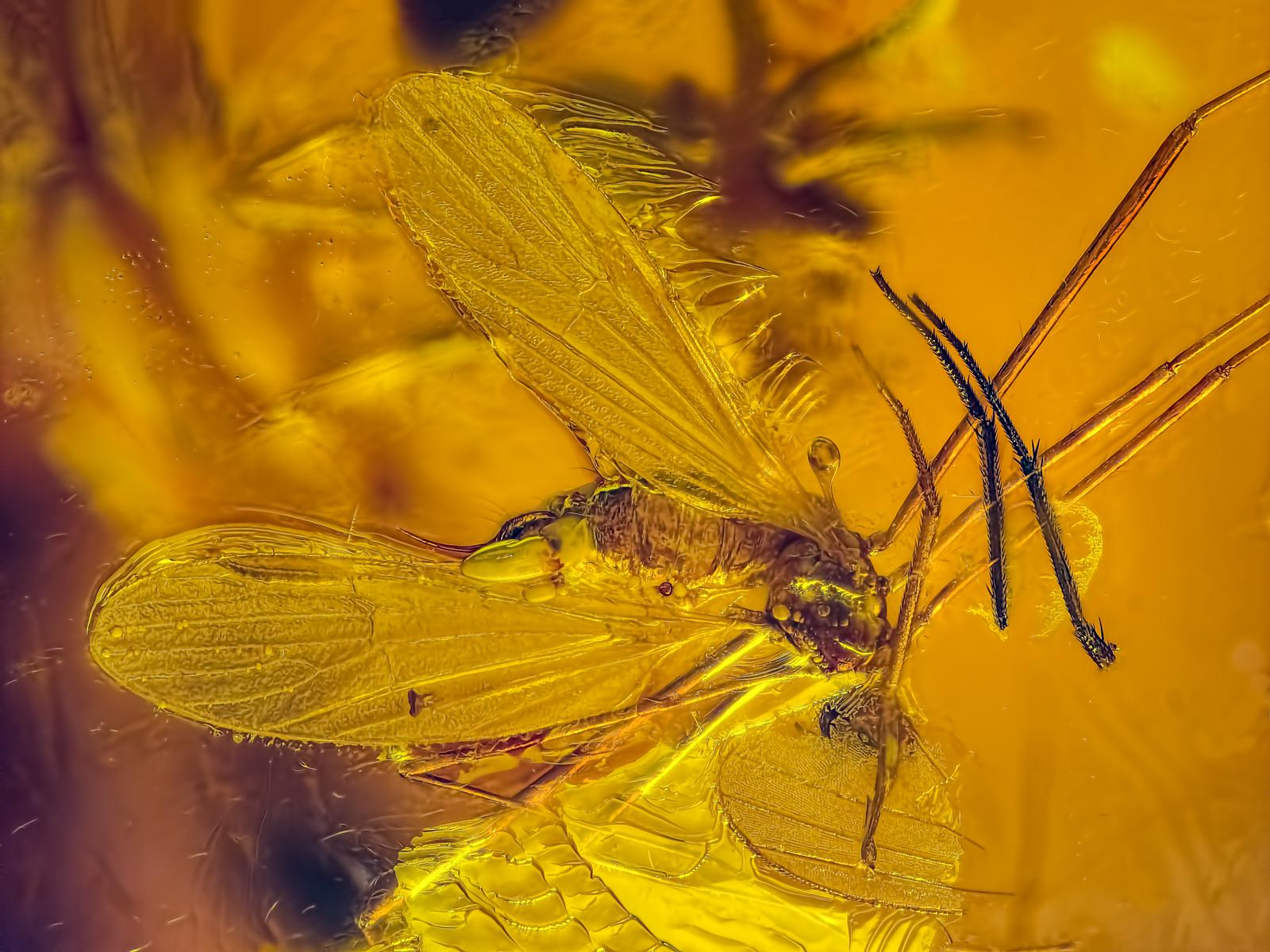 """01 """"Mosquito in Baltic amber"""" 55 million years old"""