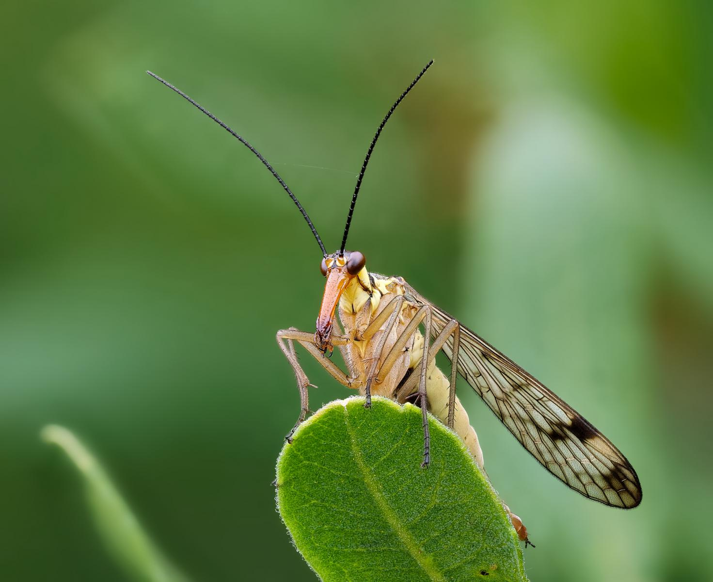 """Scorpion fly with ball jumper"""