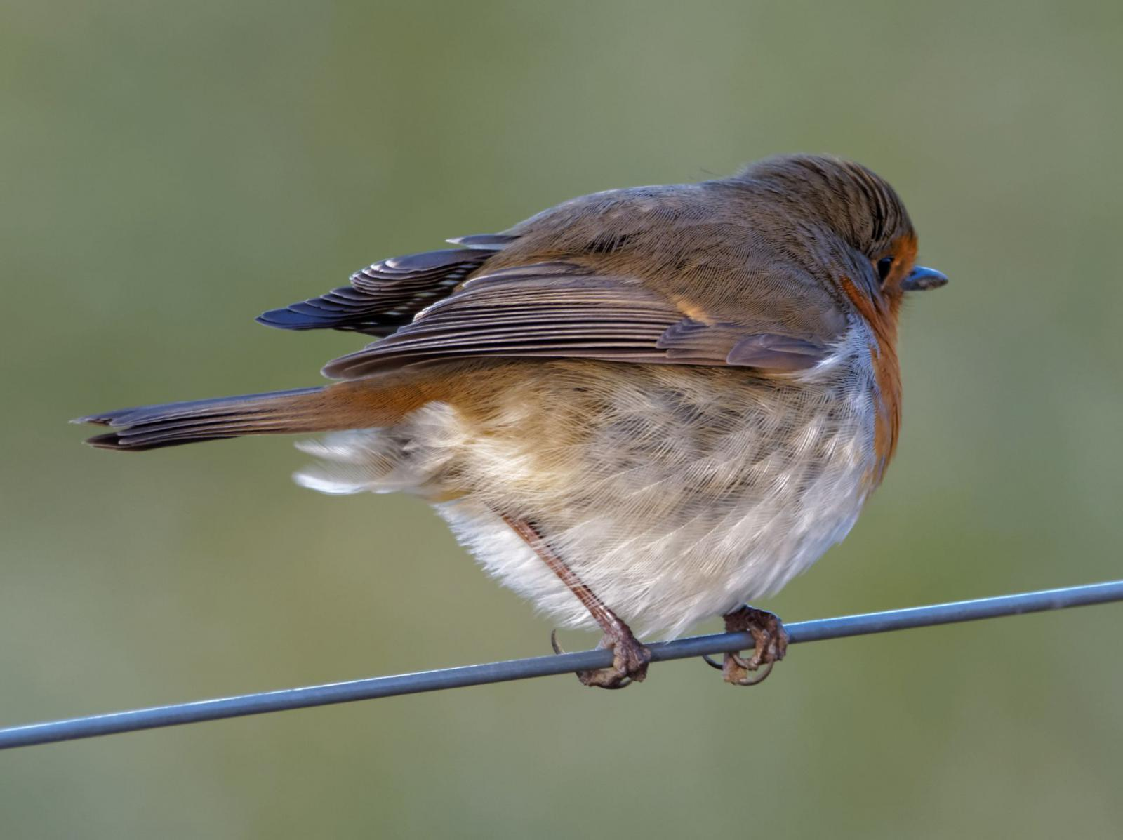 Robin on wire ...