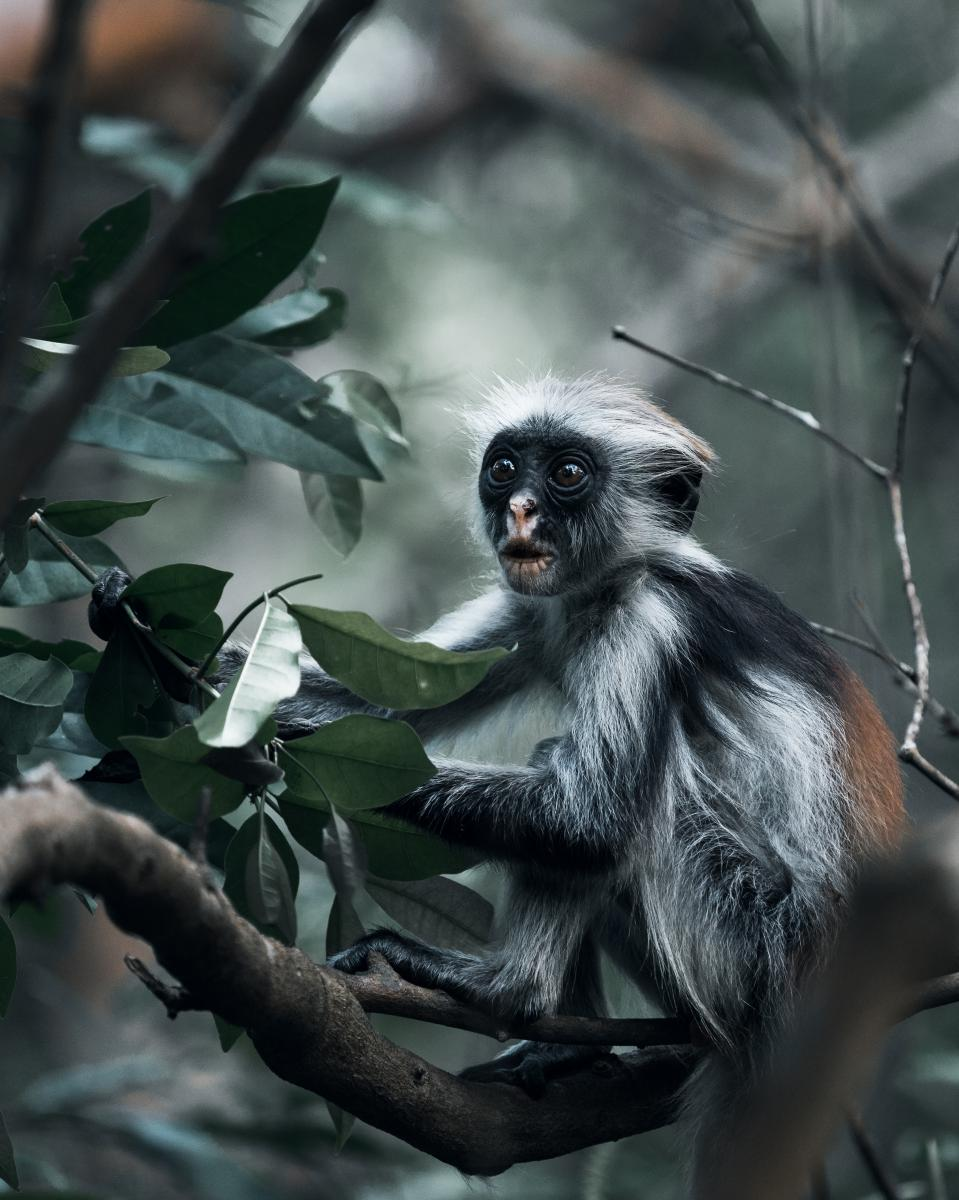 Red colobus monkey (roter Stummelaffe)