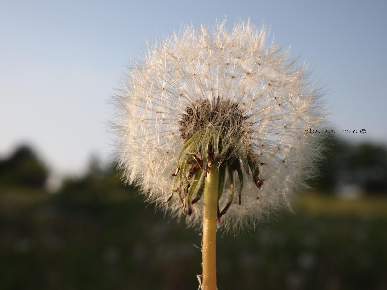 dandelion|dreams
