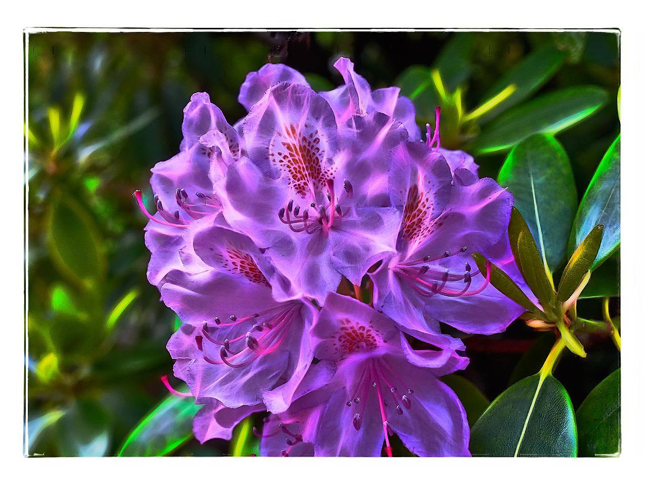 Rhododendron mal anders