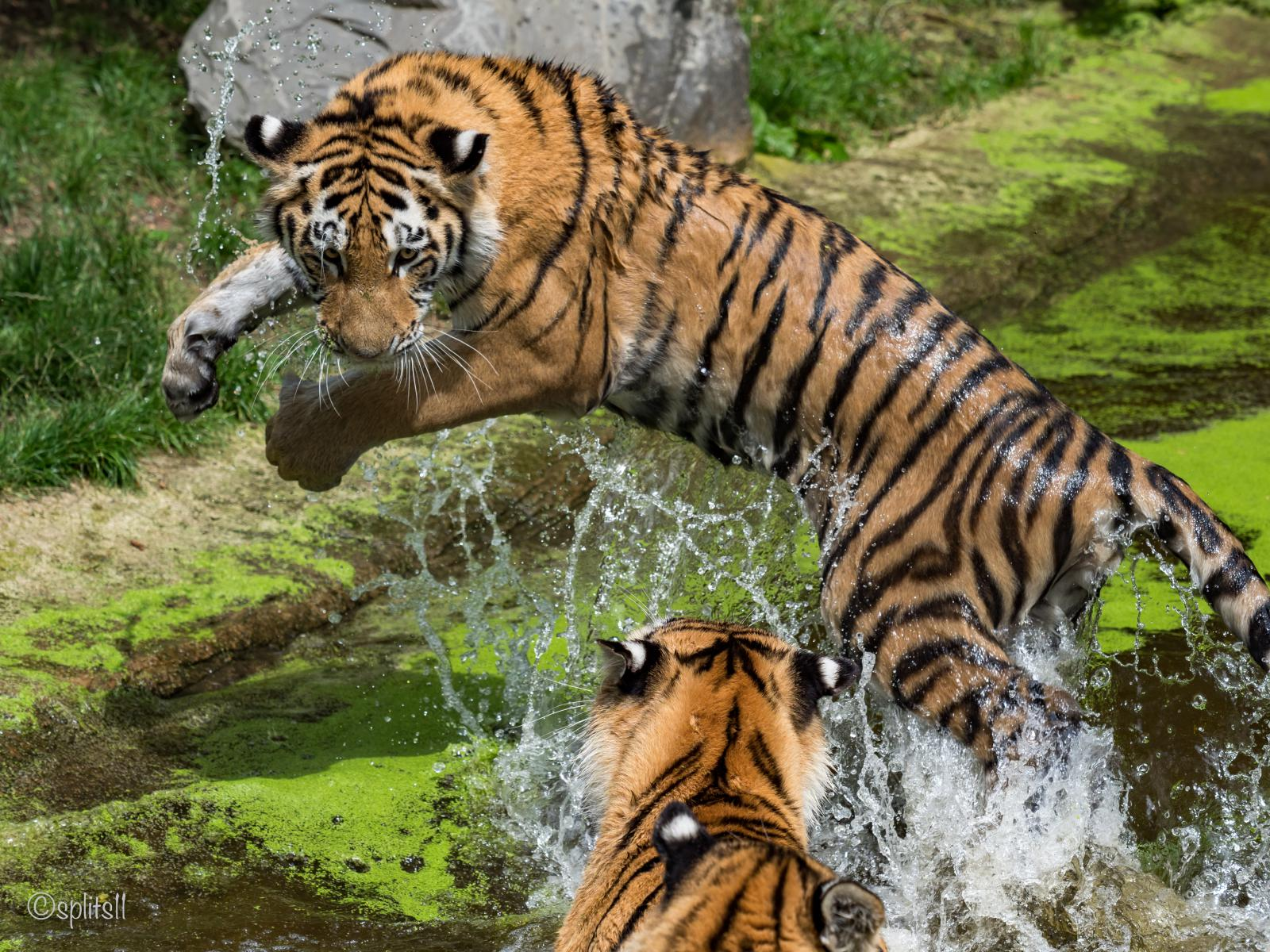 Tigers in the Zoo