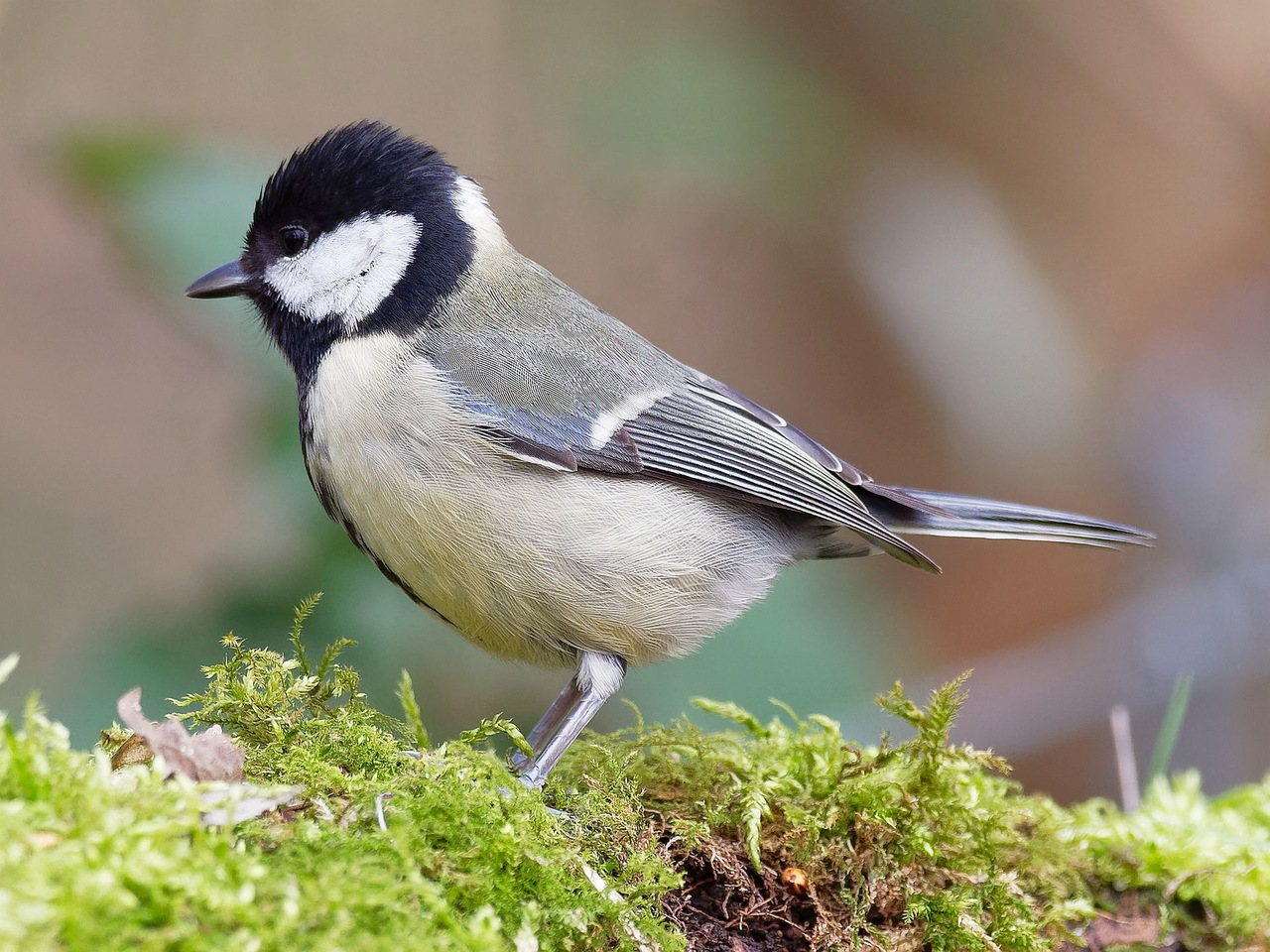 Kohlmeise (Parus major) ...