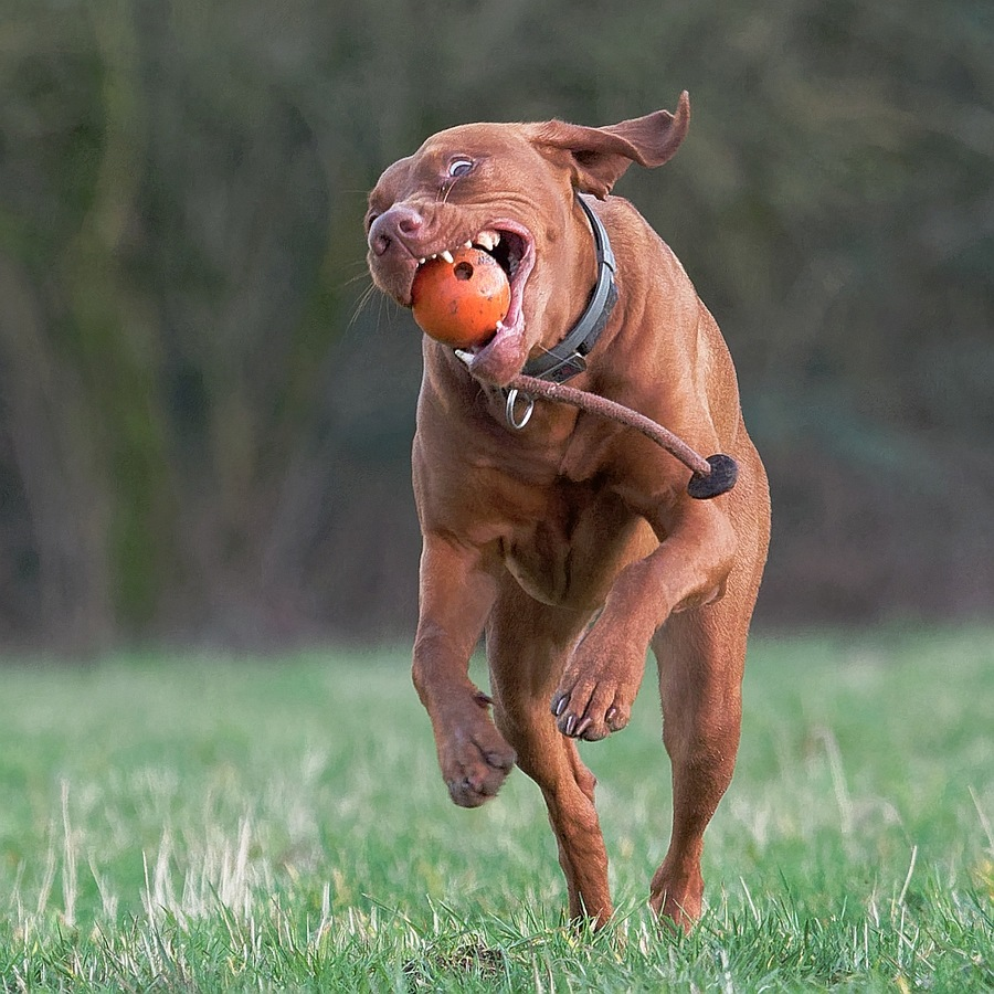 Vizsla in Action